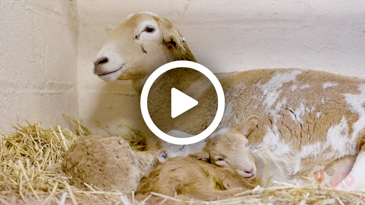 Video: Lamb Watch