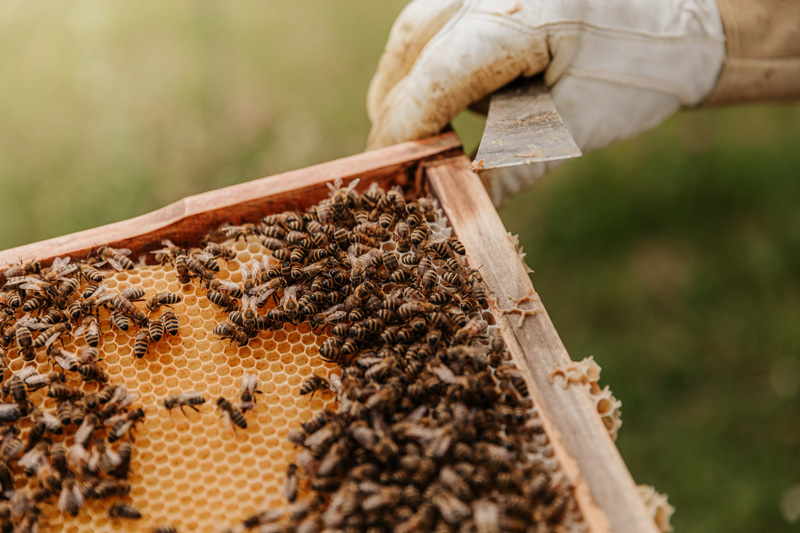 Honey bees on a wooden frame containing honeycomb